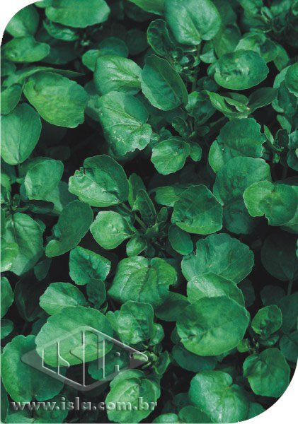 20 - <li>Cress Water Large Leaved