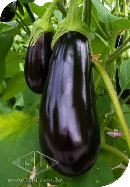 59 - <li>Eggplant Long Purple